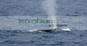 blue-whale-breathing-surfacing-in-the-drake-passage