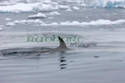 minke-whale-surfacing-with-damanged-marked-dorsal-fin-in-fournier-bay-antarctica
