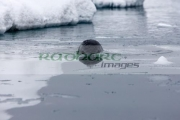 leopard-seal-hydrurga-leptonyx-looking-above-water-surface-in-Fournier-Bay-between-pack-ice-Antarctica