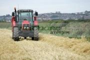 Massey-Ferguson-red-tractor-trailer-in-wheat-field-newtownards,-county-down,-northern-ireland