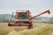 Massey-Ferguson-red-combine-harvester-in-wheat-field-newtownards,-county-down,-northern-ireland