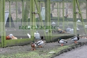 Wild-ducks-outside-cages-containing-pedigree-poultry-game-birds-on-free-range-farm-in-County-Armagh-Northern-Ireland-as-fear-an-outbreak-the-avian-bird-flu-H5N1-in-the-UK-increases.-It-is-feared-that-migrating-wild-birds-will-bring-the-disease-to-the-UK-domestic-stocks.