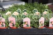 trays-potted-shamrock-plants-including-st-patricks-day-signs-at-hoop-hill-nurseries,-county-Armagh,-Northern-Ireland