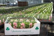 carton-authentic-shamrock-grown-in-ireland-packed-ready-for-shipping-at-hoop-hill-nurseries,-county-Armagh,-Northern-Ireland