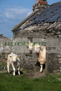 three-charolais-beef-cattle-with-identification-ear-tags-looking-out-an-old-abandoned-irish-cottage-in-county-sligo-republic-ireland