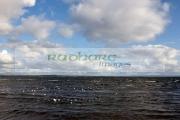wild-birds-including-ducks-black_headed-gulls-on-the-shore-at-ballyronan-lough-neagh-County-Tyrone-Northern-Ireland