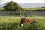 single-brown-donkey-in-field-county-sligo-republic-ireland
