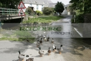 wildfowl-ducks-water-fowl-crossing-at-road-ford-ballsalla-isle-man-IOM-isle-man