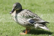 Female-mallard-duck-anas-platyrhynchos,-Castle-Espie,-County-Down,-Northern-Ireland