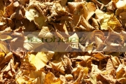 fallen-bed-brown-yellow-gold-autumn-leaves-lying-on-the-ground