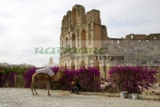 tourist-trap-old-man-with-camel-on-approach-to-the-old-colloseum-from-tourist-car-park-el-jem-tunisia